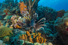 lionfishMar27-17 (divindk) Tags: bonaire bonairesinteustatiusandsaba caribbean invasivespecies lionfish pteroisvolitans underwater color diverdoug fish marine ocean reef sea spines underwaterphotography venomous