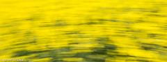PPF_0778-5 (pavelkricka) Tags: holbrook fields village oilseed rape motion blur deliberate intentionalcameramovement icm
