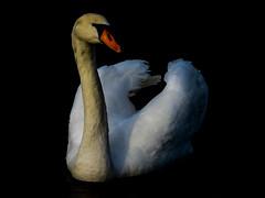 The Swan (Jean-Henri Faveke) Tags: zwaan swan water p900 nikon nikoncoolpixp900 thenetherlands vathorst