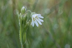 spring dew (Emma Varley) Tags: wildflower pulboroughbrooks stitchwort spring sussex dew dreamy droplets white yellow