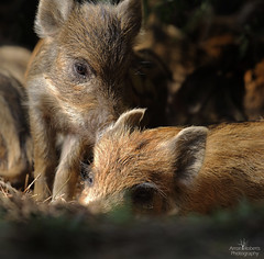 Wild Boar Piglets (Arron Roberts Photography) Tags: nature wildlife wild boar piglets cute sleep woodland forest dean canon