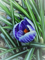 Eye catcher (gomosh2) Tags: april purpleflower springflower spring crocus