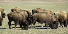 90246936939-87-American Bison-6 (Jim There's things half in shadow and in light) Tags: yellow bison buffalo utah outside nature animal wildlife wild beast horn wildwest southwest unitedstates america americana