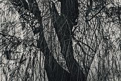 Fifteenth Disintegration (pni) Tags: monochrome tree trunk branch twig multiexposure multipleexposure tripleexposure töölönlahti tölöviken helsinki helsingfors finland suomi pekkanikrus skrubu pni