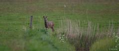 Ree - Roe deer - Capreolus capreolus-7133 (Theo Locher) Tags: ree roedeer capreoluscapreolus reh chevreuil zoogdieren säugetiere mammals mammifères netherlands nederland copyrighttheolocher