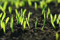 Begin to Grow (martin_king.photo) Tags: begintogrow bokeh bokehlicious wheat fields field scene moravianfields spring2017 simple lines moravian spring 2017 landscape wave wavefield agriculture agricultural scenery sceneryshooting cesketoskansko czech czechrepublic southmoravia sky simply land fieldscape soil southmoraviaspring2017 athinkingplace thinking place beautiful beauty martin king photo weather countryside naturpur springishere groud greenfields