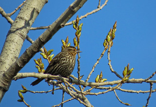 Carouge à epaulettes / Red-winged Blackbird / Angelaius phoeniceus