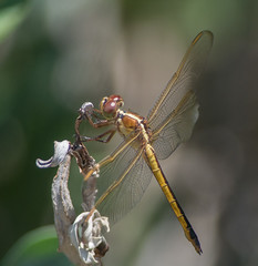 Needham's Skimmer - Female - 1554