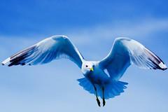 Seagull (Robban.W) Tags: seagull sweden nikon d800 archepelago bird