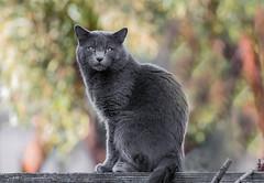 The Neighbors Cat (Jeff Carnie Studios) Tags: cat graycat