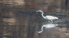 Egret on the Hunt (maytag97) Tags: maytag97 tamron 150 600 outdoor egret pond lake river tree snag dead reflection nature white natural bird