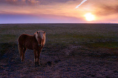 Iceland april 2017 (amanecer334) Tags: horse iceland icelandic scandinavia sun sunset sky magic dreamy mood atmosphere nature countryside north animal outdoor landscape grass alone