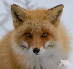 Red Fox Portrait (fascinationwildlife) Tags: animal mammal red fox rotfuchs fuchs portrait japan japanese north northern nature natur notsuke peninsula wild wildlife winter snow curious cute hokkaido asia