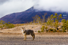 Fresh from a Shower (Lithile) Tags: california coyote mountain tree wet rain shower nationalpark bush sand wolf unitedstates desert fresh springs deathvalley soggy panamint watermarked