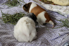 piggy stretch (On Bradstreet) Tags: pets love guineapig cavy females firstmeeting annabellebeatriceclaudia