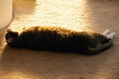 Sunbeam Nap (flipperman75) Tags: sunshine cat nap xena sunbeam