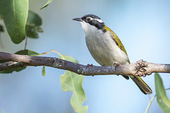 White-Throated Honeyeater (Pete Taylor's photostream) Tags: birding australia queensland whitethroatedhoneyeater melithreptusalbogularis brisbanebirds hardingspaddockconservationarea