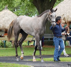 Valued Angel (Shazstock) Tags: horse black sport race grey bay track mare racing kings chestnut sales colt stallion obs filly