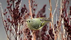 ruby-crowned kinglet (roitelet a couronne rubis) (gillesC) Tags: reguluscalendula
