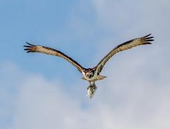 More Rich Pickings (Andy Morffew) Tags: fish florida osprey bif marcoisland sheepshead tigertailbeach andymorffew morffew