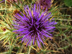 Violet spines (netman007 (Andre` Cutajar)) Tags: flowers sky sun nature chapel malta andre quotes gozo mediterrean cutajar commino