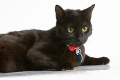 a164508 maverick (The.Rohit) Tags: blackcat adopt adoption ohs petphotography ottawahumanesociety shelterphotography