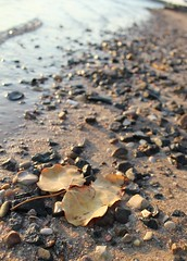 Stay Gold (ada*) Tags: morning beach leaf sand rocks waves redsea egypt gouna shore       sheratonmiramarlive