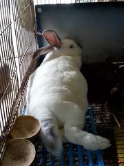 2014 APR (13) (studioantonellos) Tags: rabbit andros babyrabbit antonellos κουνέλι κουνέλια alamania kouneli ανδροσ αλαμανιά αντωνέλλοσ κουνελάκι
