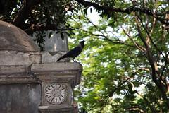 South Park Street cemetery, Kolkata (sensaos) Tags: travel india bird cemetery grave graveyard dead death asia kolkata calcutta necropolis 2013 sensaos