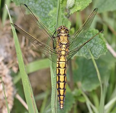 Black-tailed skimmer (Roger H3) Tags: black insect dragonfly tailed skimmer odonata