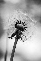 Dandelion (ianmiddleton1) Tags: bw nature monochrome canon mono blackwhite spring weeds glasgow dandelion seeds tamron bellahoustonpark dandelionseedheads