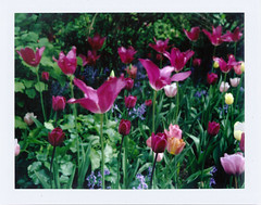 Tulips 1 (Pictures from the Ghost Garden) Tags: flowers film gardens polaroid fuji tulips rangefinder gloucestershire land instant 100 analogue nationaltrust instantcamera folding landcamera packfilm hidcote instantfilm foldingcameras peelapart fp100c polaroid100