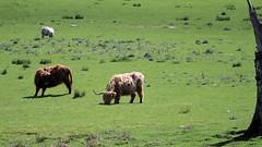 Highland Cattle at Moar Farm (lens buddy) Tags: scotland scenery cattle highlandcattle moar scottishhighlands beautifulplaces glenlyon riverlyon canoneosdigital lochlyon perthkinross moarfarm