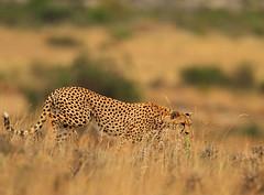 Concentration! (Rainbirder) Tags: kenya ngc npc cheetah amboseli acinonyxjubatus simplysuperb rainbirder