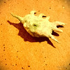 Seashell, Nungwi, Zanzibar, Tanzania (Yngvar) Tags: sea oktober tanzania shell mobil seashell afrika ferie konkylie skjell nokialumia920