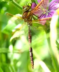 Brown Hawker...Aeshna grandis (Lutra56) Tags: macro insect dragonfly hawker odonata brownhawker aeshnagrandis