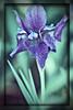 Purple Iris 2014 a la Topaz Labs (gtncats) Tags: iris flower teal purpleiris topazlabs photographyforrecreation