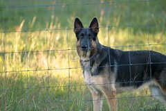 usa dog pet animal austin tx watching germanshepherd watchdog behindfence guarddog guardingproperty