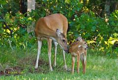 Doe and fawn (Lindell Dillon) Tags: oklahoma nature raw wildlife doe deer fawn tamron whitetail lindelldillon