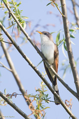 _53F2521 Yellow-billed Cuckoo (~ Michaela Sagatova ~) Tags: yellowbilledcuckoo coccyzusamericanus birdphotography dvca michaelasagatova spring2014 dundasd