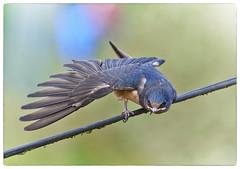 Testing Testing (Maggie's Camera) Tags: swallow fledgling captureone demiseofaperture