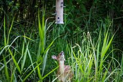 Muntjac looking up at bird feeder (Paul Williams www.IronAmmonitePhotography.com) Tags: uk greatbritain mammal britain wildlife deer invasive wickenfen barkingdeer muntiacus muntjacs mastreanideer