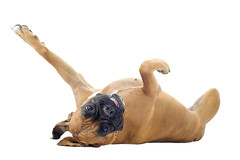 boxer on the back (jakedrector) Tags: portrait dog pet brown playing cute beautiful animal studio one back paw play looking head humor young canine bulldog whitebackground boxer rolling pedigree lyingdown purebred