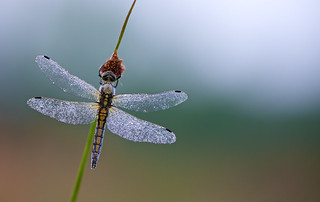 Orthetrum cancellatum (Black-tailed Skimmer, Gewone oeverlibel)