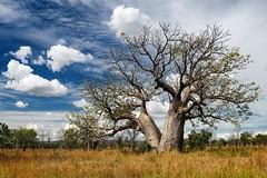 Baobab (loveexploring) Tags: tree australia bottletree westernaustralia baobab boab australiannativeplant adansonia eastkimberley adansoniagregorii