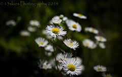 Flowered fields (13skies) Tags: astors field flowers white smell green country canon dof bunch group small wildflowers