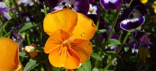 Orange minipansy flower, with dewdrop