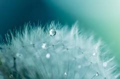 Dandelion & Waterdrops (Cyrielle Beaubois) Tags: blue friends summer water waterdrop eau drop dandelion goutte raindrop pissenlit 2014 canonef100mmf28macrousm chlet canoneos5dmarkii cyriellebeaubois saintebeatrix