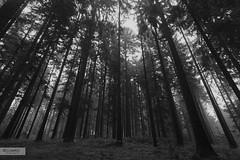 Evermore (desomnis) Tags: wood trees blackandwhite bw mist tree nature monochrome misty canon austria blackwhite sterreich haze woods natural natur foggy wideangle monochrom bohemia obersterreich 6d wideanglelens upperaustria mhlviertel forst bhmen sigma20mm bhmerwald bohemianforest canon6d coniferforest sigma20mmf18exdgrf canoneos6d u desomnis