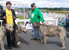 Wolf Hounds (jiff89) Tags: horses horse irish dog june race downs washington track day sunday auburn racing special event celtic 29 emerald thoroughbred wolfhound 2014